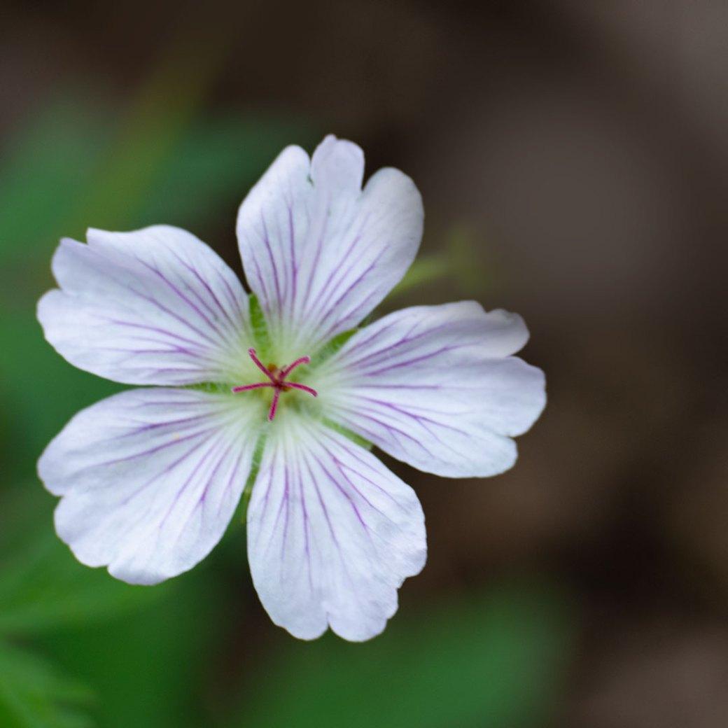 Richardson's geranium wildflower - Copyright Debbie Devereaux Photography
