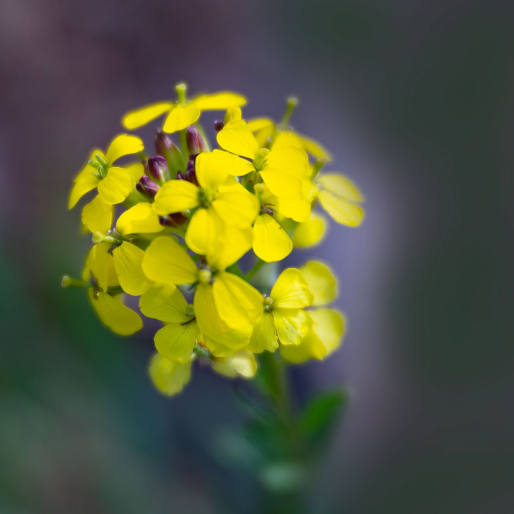 Wallflower wildflower - Copyright Debbie Devereaux Photography