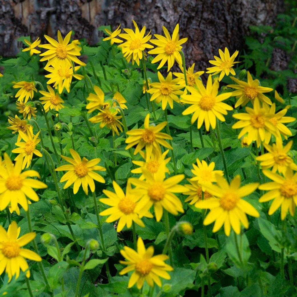 Heartleaf Arnica wildflower - Copyright Debbie Devereaux Photography