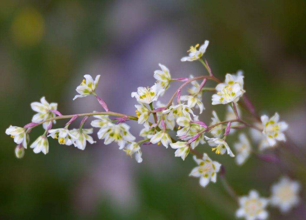 Mountain Death Camas wildflower - Copyright Debbie Devereaux Photography
