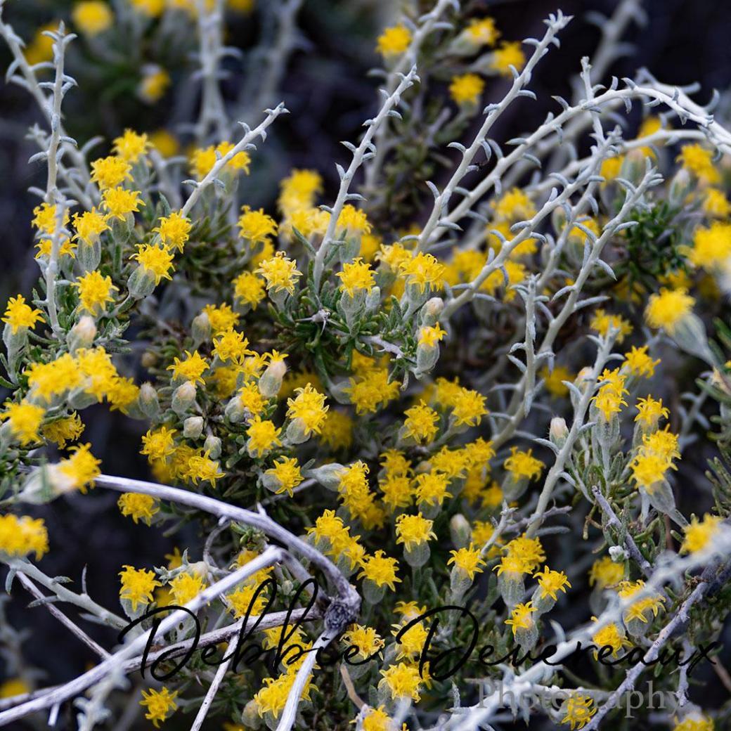 Colorado wildflowers - Image Copyright Debbie Devereaux