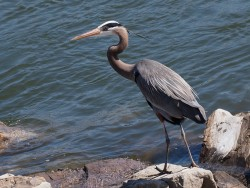 great-blue-heron-620476_640