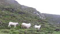 day 3 sheep parade