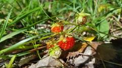 More wild strawberries
