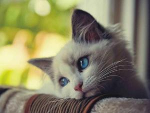 El horóscopo de los gatos.