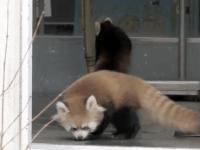 [Video] Tremendo susto que se lleva este bebé de oso panda rojo. Adorable