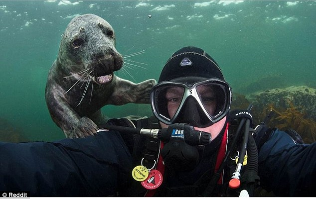 2D69B0E000000578-3272515-Seal_of_approval_This_diver_was_photobombed_during_his_underwate-a-5_1444901507865