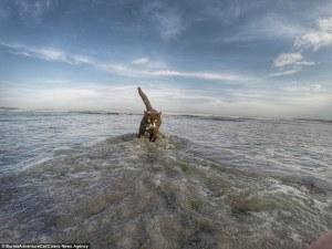 Este sí que es un gato salvaje: Las increíbles imágenes de Birmania el felino aventurero que pasó dos años escalando los picos más emblemáticos de Estados Unidos (y se convirtió en una estrella de los medios sociales)