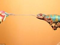 Impresionantes fotografías muestran cómo los camaleones capturan a sus presas a gran velocidad