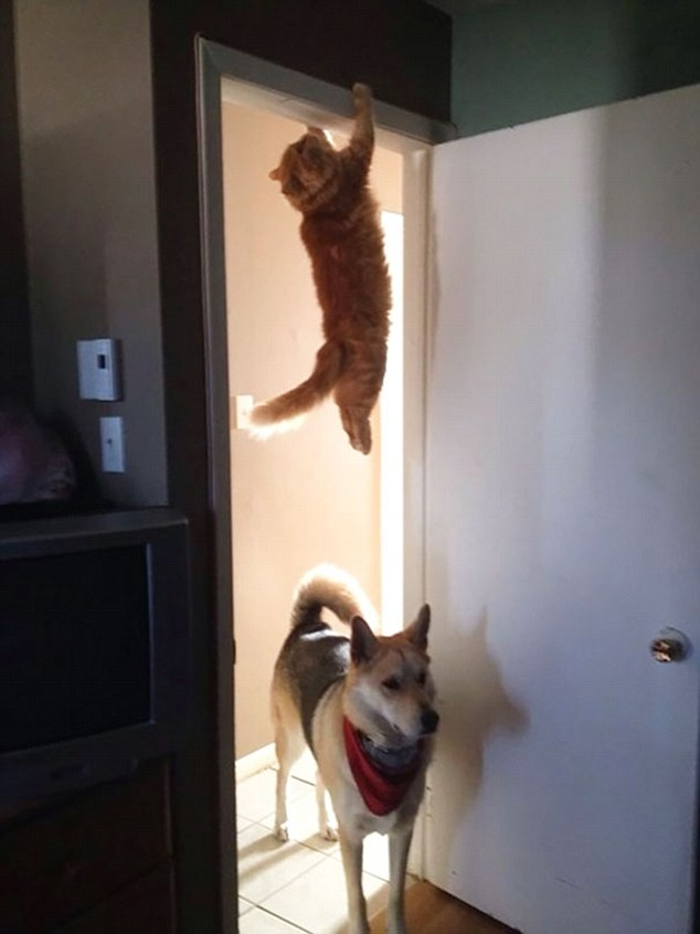 2E3AF22200000578-3309168-Hanging_out_This_cat_holds_on_for_dear_life_after_he_attempted_t-a-48_1446992469690