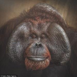 Increíbles retratos de simios muestran cuán cerca están de expresar emociones como los humanos
