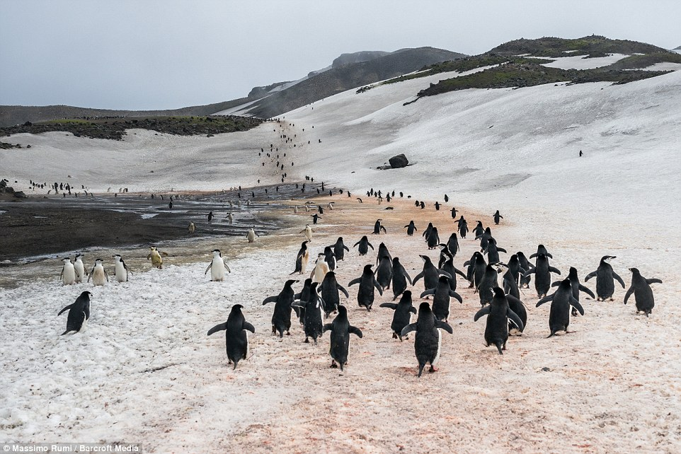 318AD15300000578-3463605-Gentoo_penguins_climbing_to_the_top_in_Antarctica-a-47_1456404051807