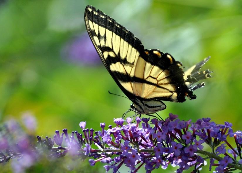 butterfly-224755_1920