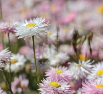 Spring remembered,fields flower photo, debiriley.com