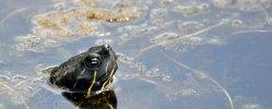 Turtle-Head