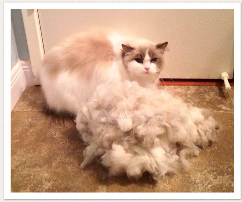 Cat Grooming, Deborah Hansen, CFMG, CFCG