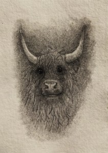 Highland Cow drawing