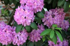 Rhododendron_Pond St