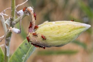 milkweed pod