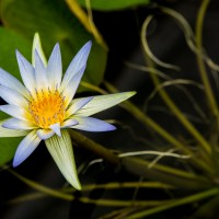 Blue Nile Waterlily, Nymphaea caerulea