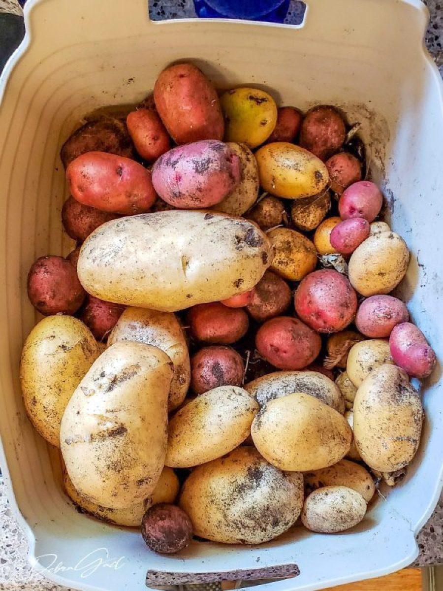 fresh potatoes from the vegetable garden