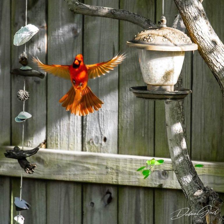 debra gail photography cardinal