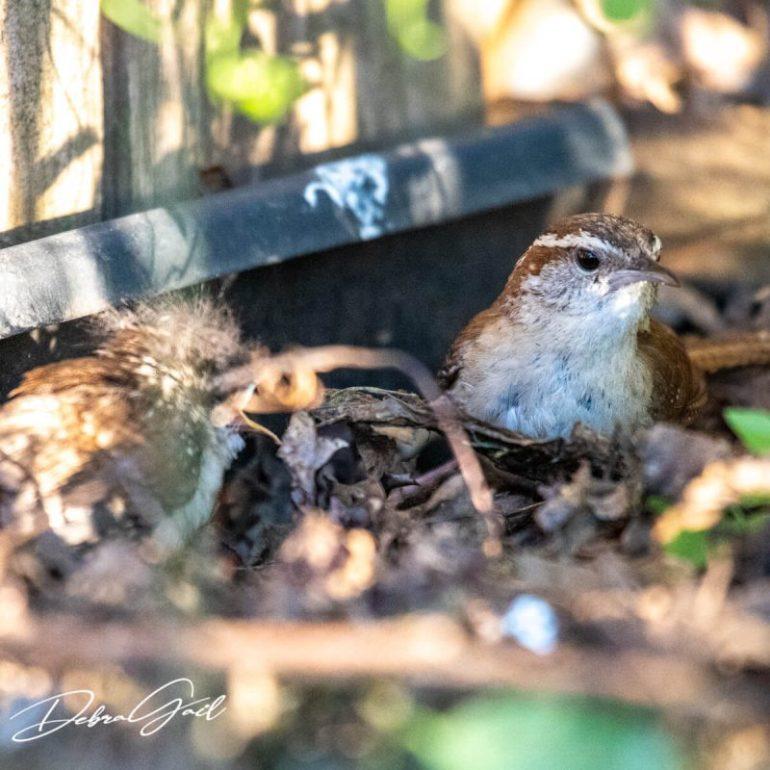 adult and fledgling wren