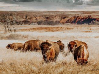Buffalo Herd 10783 product image