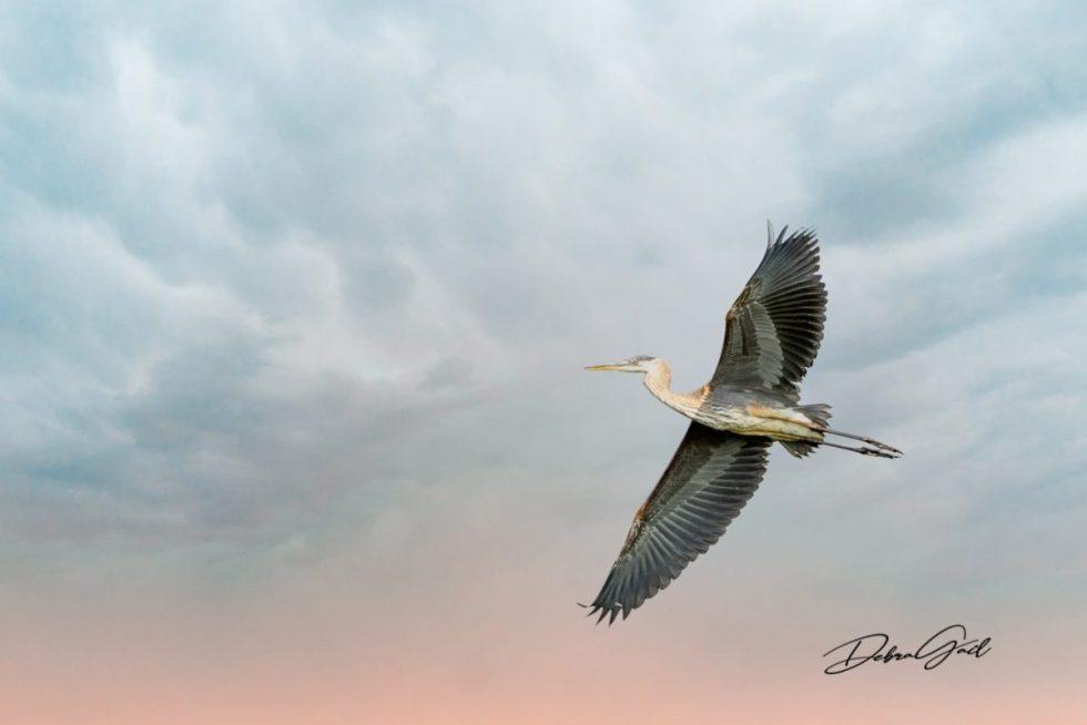 birds waterfowl great blue heron animal art