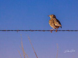Western Meadowlark on a Wire Wall Art