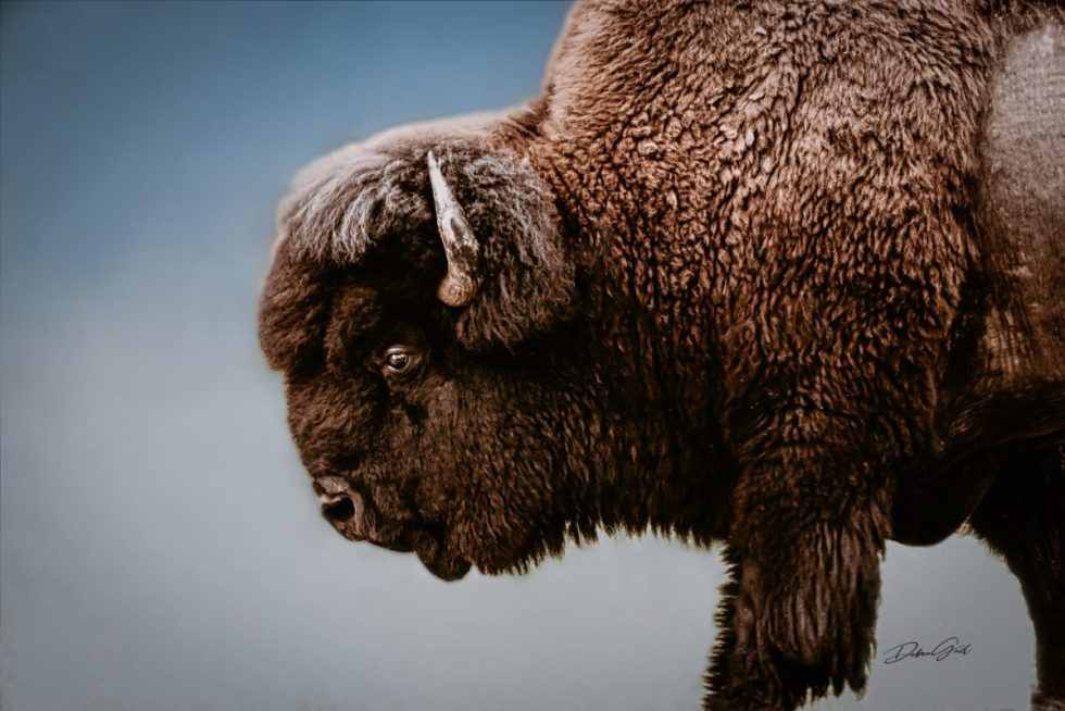 wholesale retail ranch collections furnishings wall art wholesale nature landscape photography debra gail photography spiritual buffalo bison wall art print