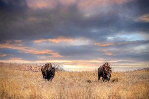 nature landscape photography wholesale retail ranch collections furnishings wall art wholesale bison buffalo debra gail