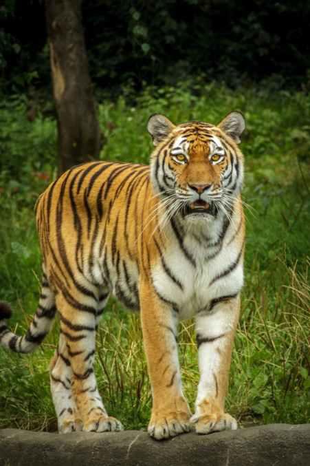 panthera-tigris-altaica-tiger-siberian-amurtiger-162173.jpeg