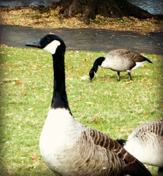 Commons Goose