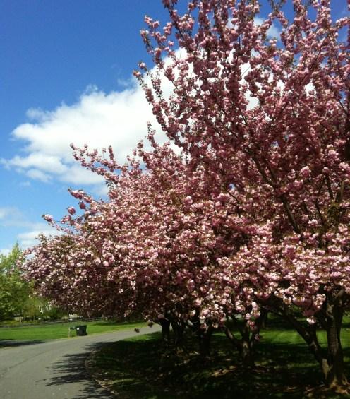 BloomingCherries