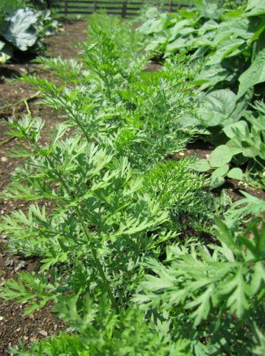 GardenCarrots