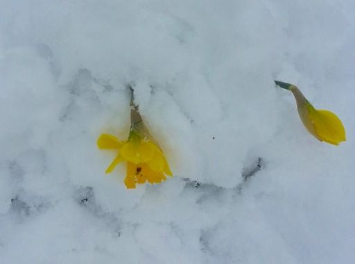 SnowyJonquils