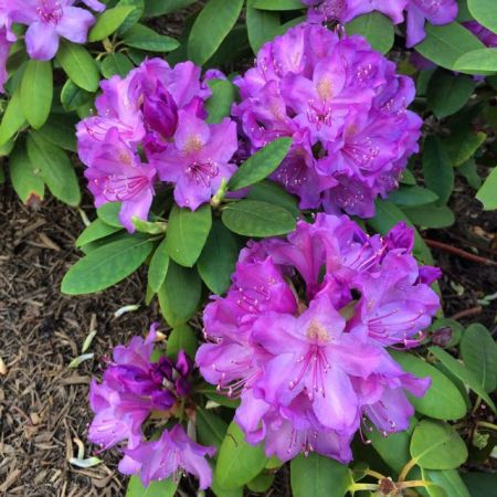 RhododendronBloom