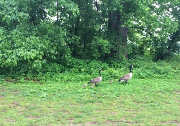 RiverbendTrailRunGeeseAndGoslings