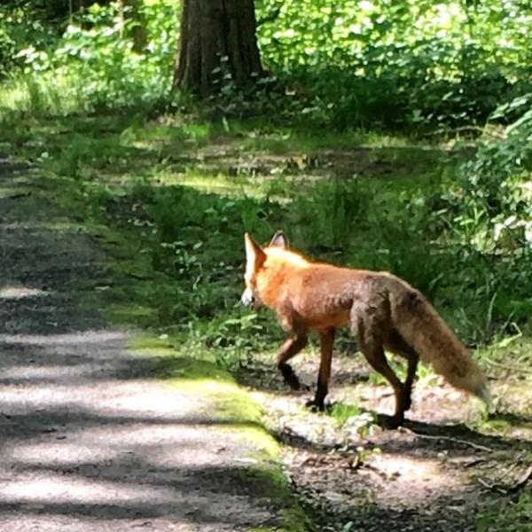 TrottingFox
