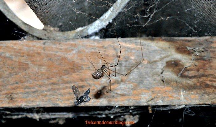 Spider dragging it's prey