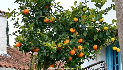 Oranges And Lemons… On The Same Tree?