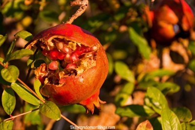 Autumnal Colours Of A Pomegranate