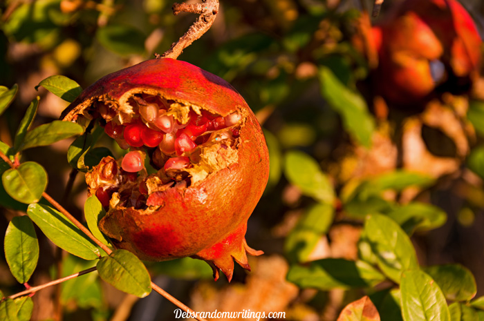 The autumnal colours of a pomegranate