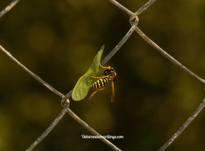 leaf eating wasp