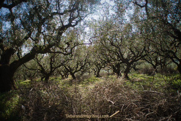 Olive groves are magical places to wander. Zakynthos is full of them.