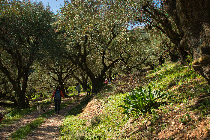The trails through the olive groves makes walking a little easier.