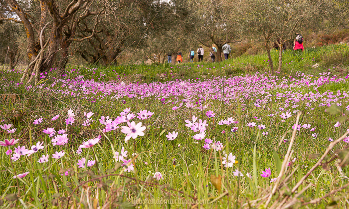 A field of pink anemones with hikers in the distance.