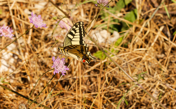 Swallowtail butterfly on a pink flower in a dry grassy area.