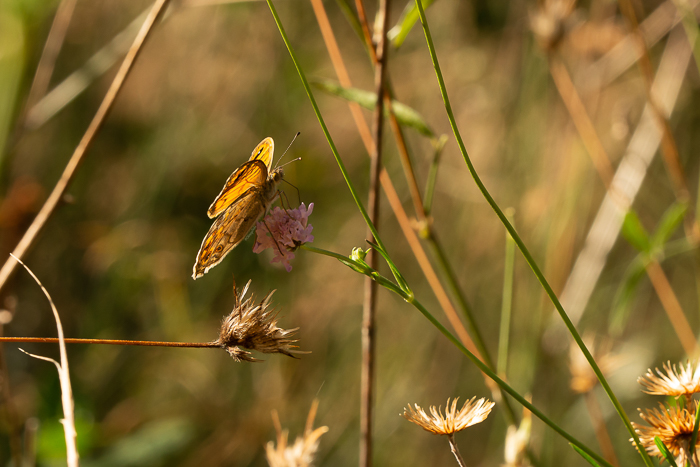 Wall brown butterfly drinking the nectar from a wild chive flower.